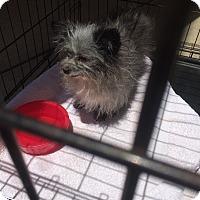 Adopt A Pet :: Scooter - Hohenwald, TN