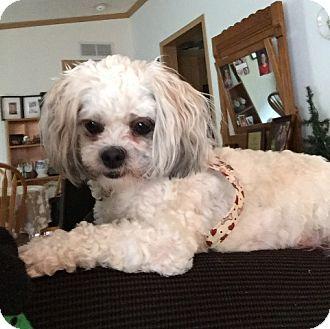 Shih Tzu/Bichon Frise Mix Dog for adoption in Eden Prairie, Minnesota - BAILEY