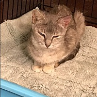 Domestic Shorthair Cat for adoption in Waggaman, Louisiana - Sally