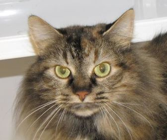 Domestic Shorthair/Domestic Shorthair Mix Cat for adoption in Woodstock, Illinois - Panda Anne