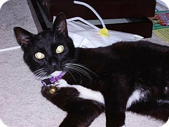 Domestic Shorthair Cat for adoption in Royal Oak, Michigan - Mr. Bond