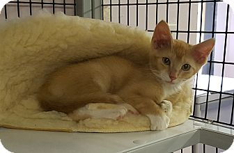 Domestic Shorthair Cat for adoption in Maryville, Illinois - Fish