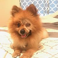 Adopt A Pet :: Blade - conroe, TX