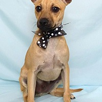 Chihuahua Mix Puppy for adoption in Kerrville, Texas - Pablo