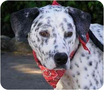 Dalmatian Mix Dog for adoption in Claymont, Delaware - Archie