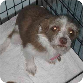 Norfolk Terrier/Chihuahua Mix Dog for adoption in West Warwick, Rhode Island - Buttons ( FOUND)