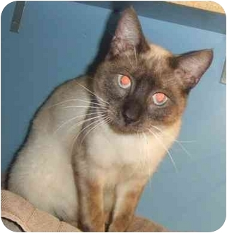 Siamese Cat for adoption in Lake Charles, Louisiana - Mike
