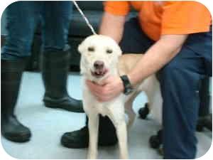 Labrador Retriever Mix Dog for adoption in Greenville, North Carolina - Lainy