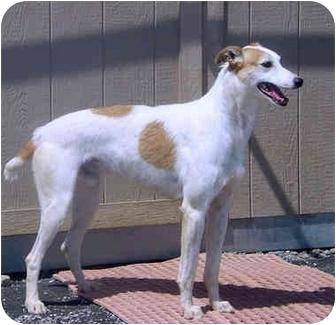 Irish Wolfhound/Greyhound Mix Dog for adoption in Santa Rosa, California - Mikey