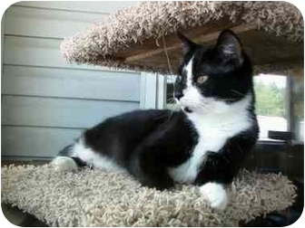 Domestic Shorthair Cat for adoption in Delmont, Pennsylvania - Polly
