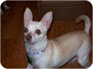 Chihuahua Mix Dog for adoption in Edmond, Oklahoma - Panzi