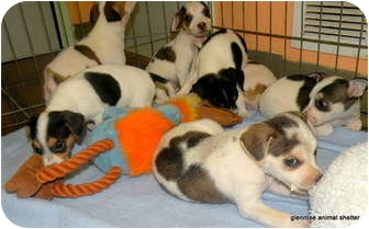 Jack Russell Terrier Mix Puppy for adoption in Dallas/Ft. Worth, Texas - JRT mix puppies in Dallas
