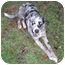 Photo 2 - Australian Shepherd/Hound (Unknown Type) Mix Dog for adoption in Allentown, Pennsylvania - Blue Boy