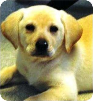 Labrador Retriever Puppy for adoption in Oswego, Illinois - Hanna Banana