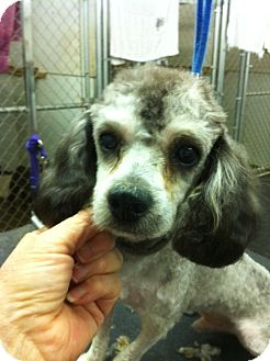 Poodle (Miniature) Dog for adoption in Lexington, Kentucky - Button