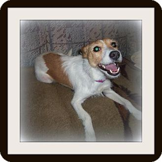 Jack Russell Terrier Dog for adoption in Medford, Wisconsin - STELLA