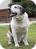 St. Bernard/Labrador Retriever Mix Dog for adoption in Washington, D.C. - Mr Buddy (Reduced)