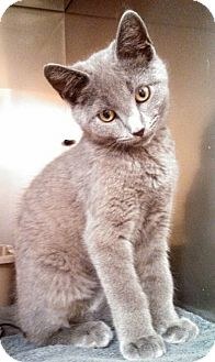 Russian Blue Kitten for adoption in E. Claridon, Ohio - Skeeter