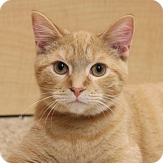Domestic Shorthair Cat for adoption in Columbia, Illinois - Pepper