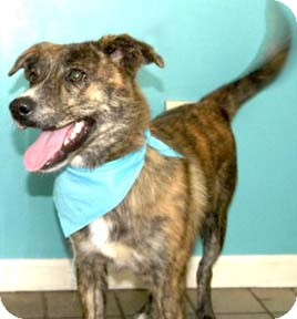 Australian Shepherd/Labrador Retriever Mix Puppy for adoption in Cincinnati, Ohio - Austin