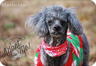 Poodle (Miniature) Mix Dog for adoption in Albany, New York - Martha Mae