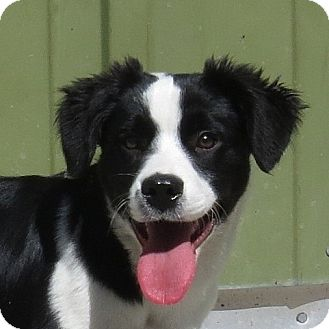 Border Collie Mix Dog for adoption in Columbia, Illinois - Gallagher