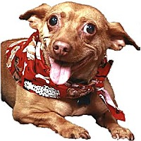 Adopt A Pet :: Pepi super cute companion - Sacramento, CA