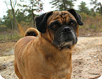 Pug/Beagle Mix Dog for adoption in Forked River, New Jersey - Kinko
