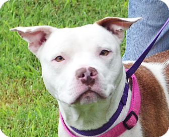 Pit Bull Terrier/Terrier (Unknown Type, Medium) Mix Dog for adoption in Searcy, Arkansas - Patricia