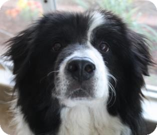 Border Collie Mix Dog for adoption in West Des Moines, Iowa - Buster