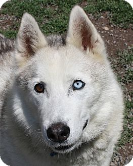 Husky Mix Dog for adoption in Lyons, New York - Diablo