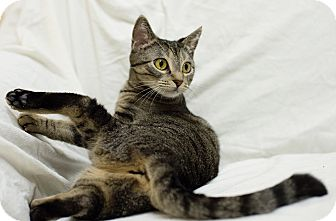 Domestic Shorthair Cat for adoption in Mission Viejo, California - Kira