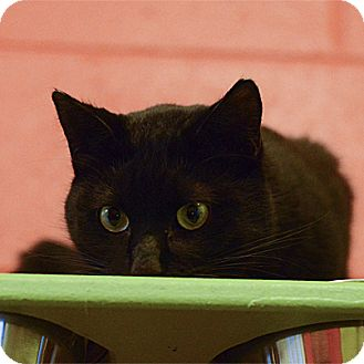 Domestic Shorthair Cat for adoption in Stillwater, Oklahoma - Duster