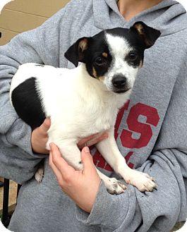 Rat Terrier/Chihuahua Mix Dog for adoption in McDonough, Georgia - Edward