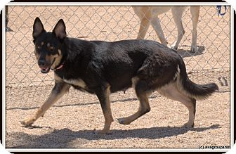Australian Kelpie/German Shepherd Dog Mix Dog for adoption in Phoenix, Arizona - Buna