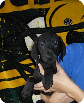 Labrador Retriever Mix Puppy for adoption in Oviedo, Florida - Andy