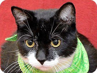 Domestic Shorthair Cat for adoption in Warren, Michigan - Quinton