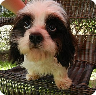 Cavalier King Charles Spaniel/Poodle (Miniature) Mix Puppy for adoption in Houston, Texas - Jordan