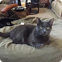 Adopt A Pet :: Sheba - Laguna Woods, CA