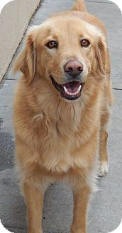 Golden Retriever Mix Dog for adoption in Foster, Rhode Island - Beau