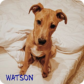 Labrador Retriever/Pit Bull Terrier Mix Puppy for adoption in Haggerstown, Maryland - Watson