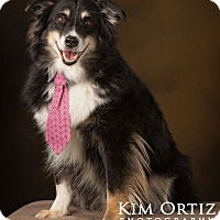 Adopt A Pet :: Rosco - Mini Aussie - Mesquite, TX