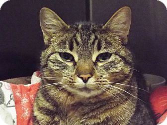 Domestic Shorthair Cat for adoption in Grants Pass, Oregon - Sweet Pea