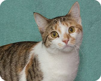 Domestic Shorthair Cat for adoption in Elmwood Park, New Jersey - Creamy