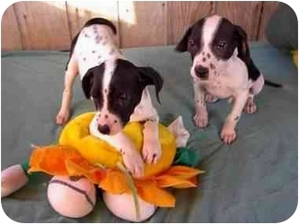 Dalmatian/Labrador Retriever Mix Puppy for adoption in McArthur, Ohio - The Wiggles