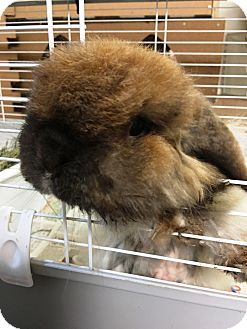 American Fuzzy Lop for adoption in Edinburg, Pennsylvania - Fuzzy Wuzzy
