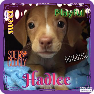 Beagle/Miniature Pinscher Mix Puppy for adoption in Enid, Oklahoma - Hadlee