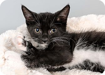 Domestic Shorthair Kitten for adoption in Bristol, Connecticut - Maggie