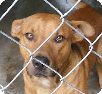 Shepherd (Unknown Type) Mix Dog for adoption in Henderson, North Carolina - Robbie