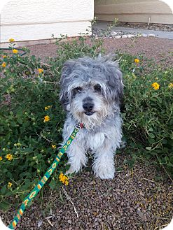 Havanese Mix Dog for adoption in Las Vegas, Nevada - Teddy